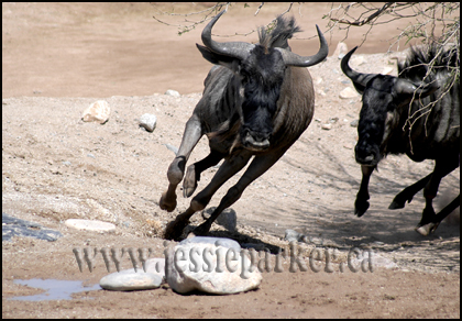 African Wildebeasts